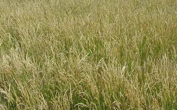 Smooth Bromegrass  |Smooth Bromegrass Seed