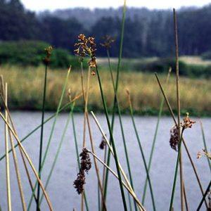 Wetland Species